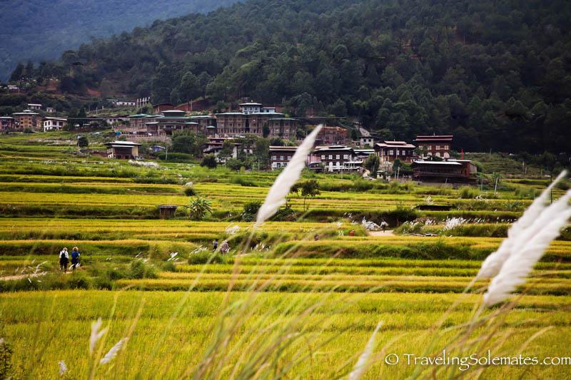 Rice paddies along he Hike to Chimi Lakhang, Punakha Valley, Bhutan