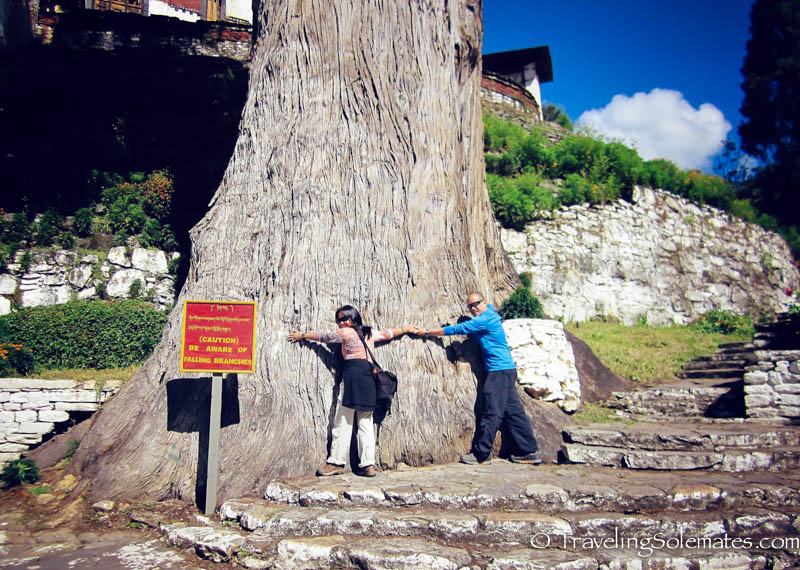 Giant tree in the ground of Trongza Dzong (Fortress), Bhutan
