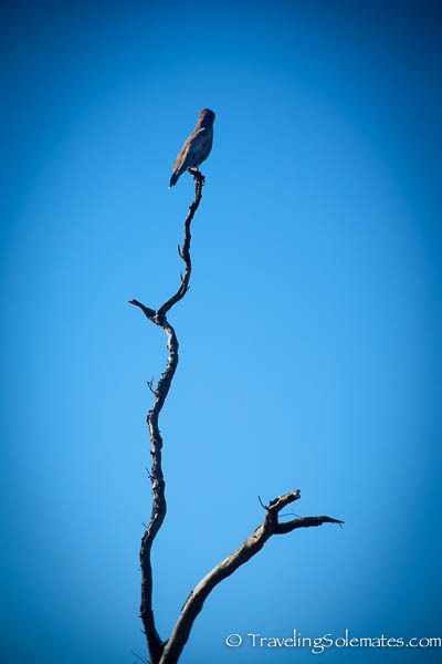 A bird atop  a dead tree during safari in Hluhluwe-Imfolozi Game Reserve, South Africa