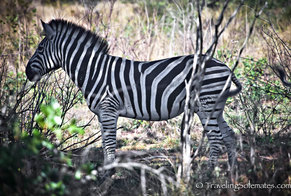 A zebra on Safari in Kruger National Park, South Africa