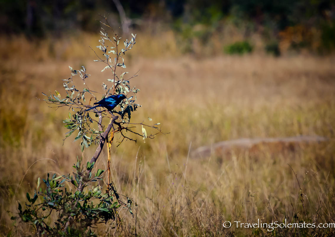 Bird on Safari in Kruger National Park, South Afric