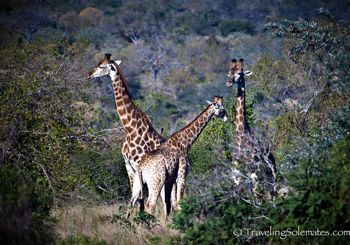 Giraffes on Safari in Kruger National Park, South Afric