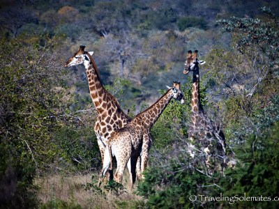 Giraffes on Safari in Kruger National Park, South Afric
