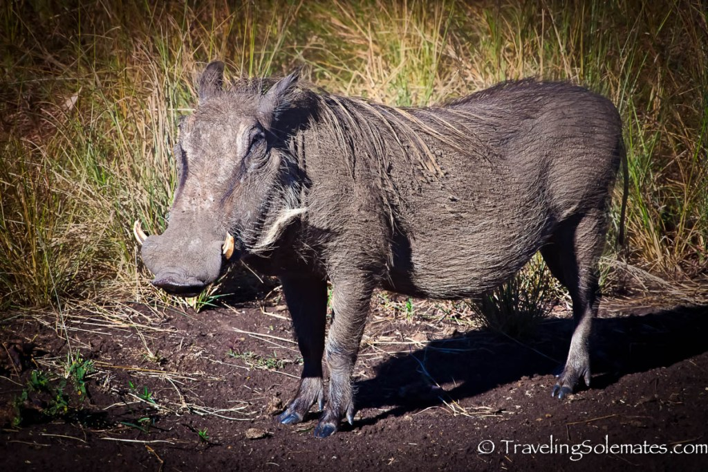Warthog on a Safari in Hluhluwe-Umfolozi Game Reserve, South Africa