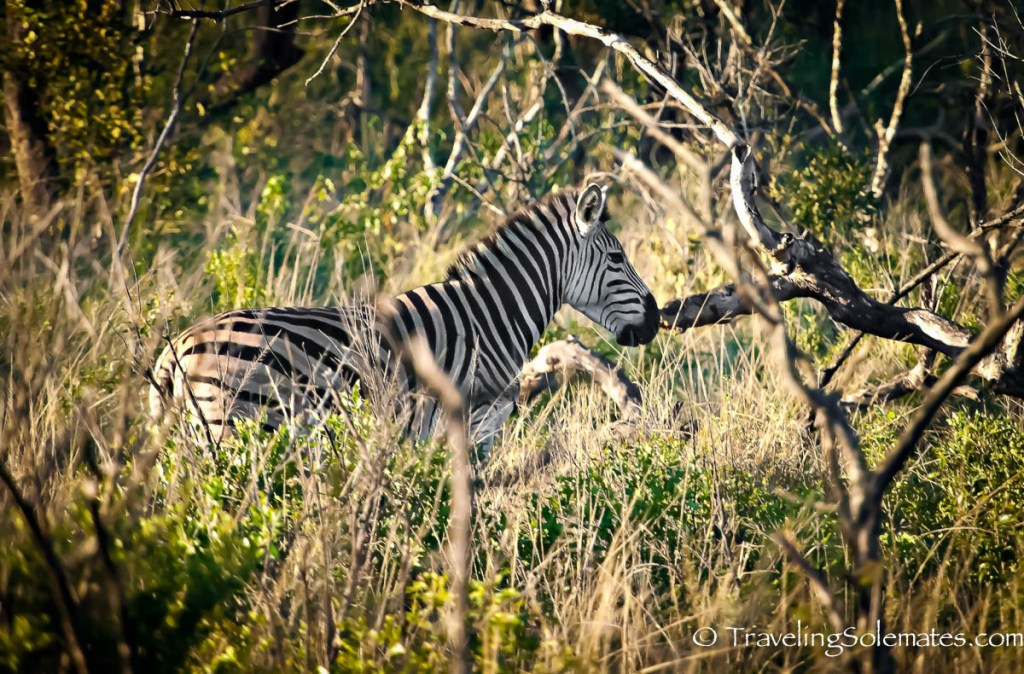 Zebra in Hluhluwe-Umfolozi Game Reserve, South Africa