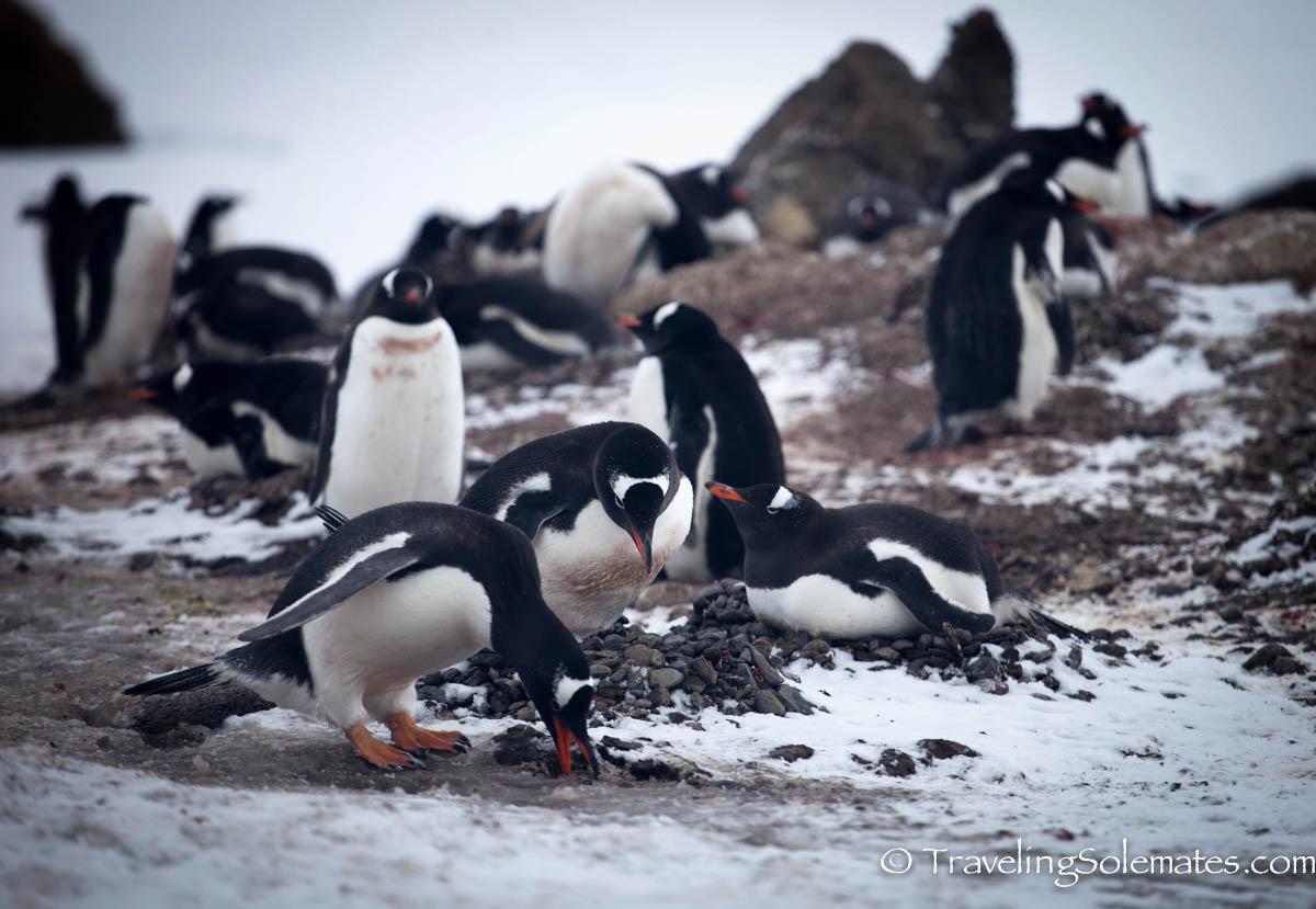 Antarctica Nesting Adelie Penguins