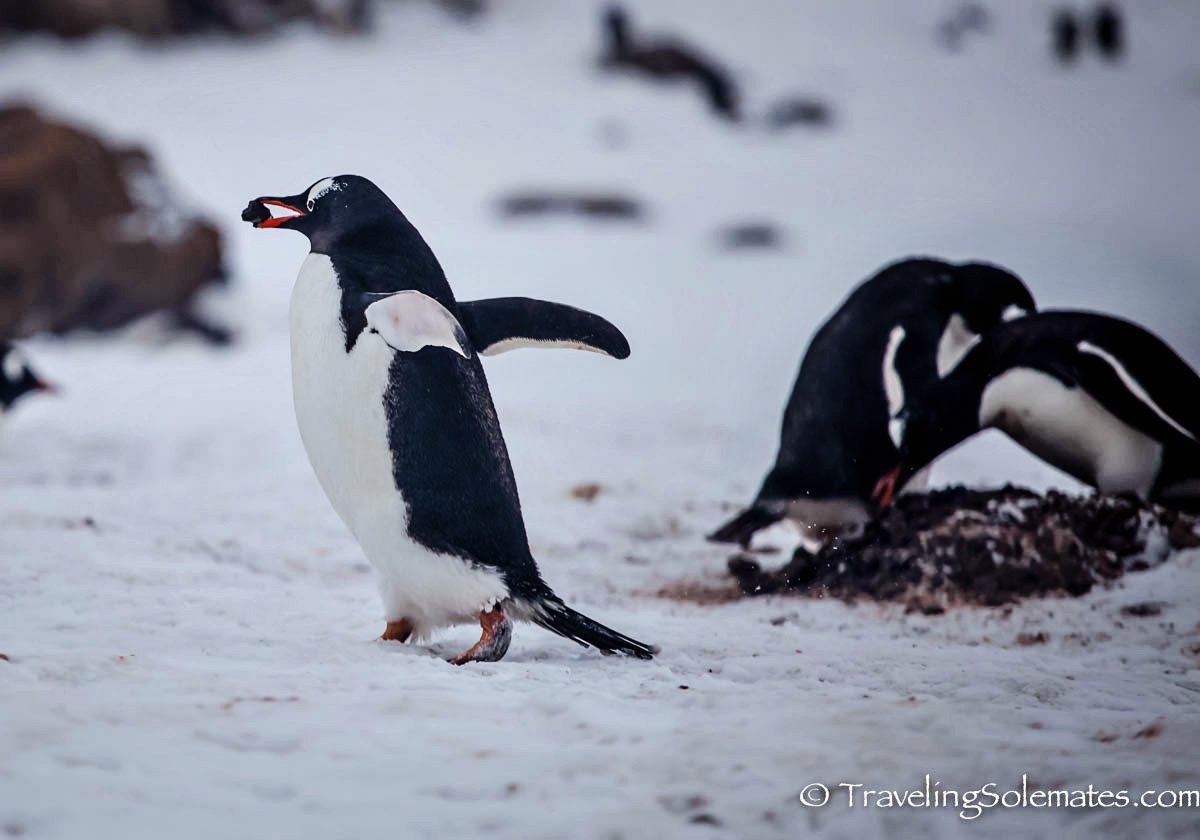 Penguin carrying pebble in Brown Bluff, Antartica, National Geographic Explorer, Lindblad Expeditions