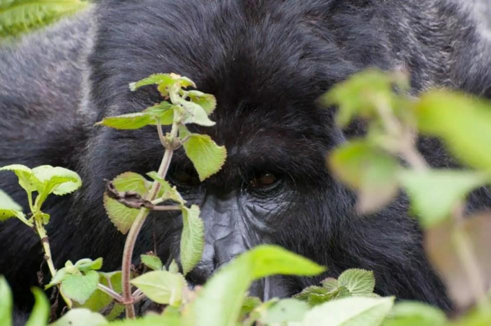 Rwanda Gorillas-0826