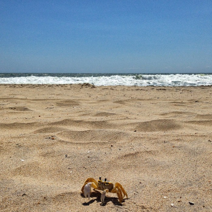 hatteras-beach-outer-banks-crab