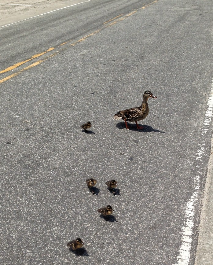 Things-to-do-in-the-Outer-Banks-Ocracoke-Island-Duck_crossing-2