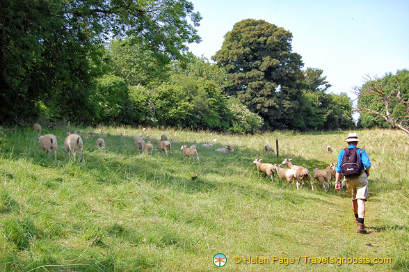 Plenty of sheep in the Cotswolds!