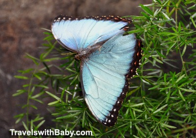 A blue morpho butterfly in the butterfly house at La Paz Waterfall Gardens, Costa Rica
