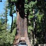 drive-thru tree