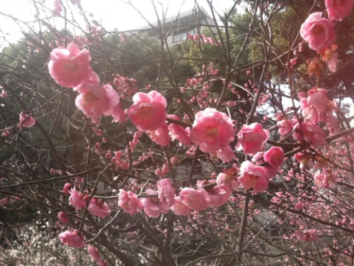Plum blossoms at Shukkei-en