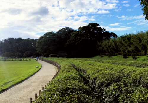 Green tea grown in Koraku Park
