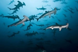 Cocos Island diving sharks