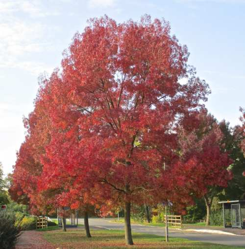 Medium Of Autumn Purple Ash