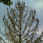 Winter Burn to Evergreen Trees