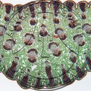 Yucca Leaf Fiber Prepared Microscope Slide