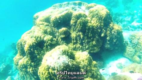 ปะการังโขด