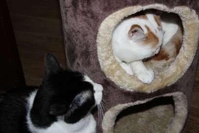 Taz and Winnie explore the cat condo with encouragement from catnip spray.