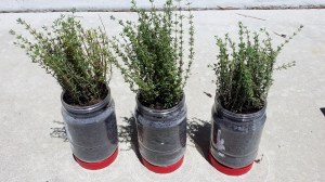 Thyme transplanted in peanut butter jars