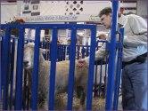 Steve Petting the sheep