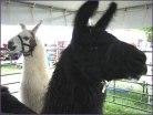 more llamas