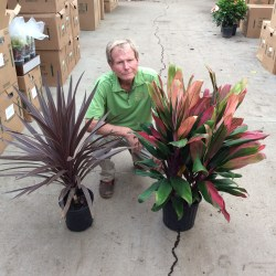 Incredible Cordyline Red Star Cordyline Jackie Cordyline Red Star Cordyline Jackie Tri Foliage Cordyline Red Star Size Cordyline Red Star Growth Rate