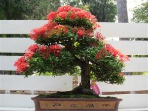 Bonsai trang lá nhuyễn với sắc hoa đỏ thắm