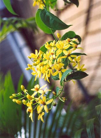 Tên khoa học Tristellateia australasiae A. Richard