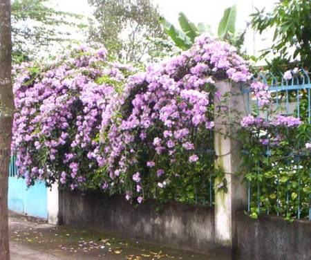 cây ánh hồng trồng làm hàng rào