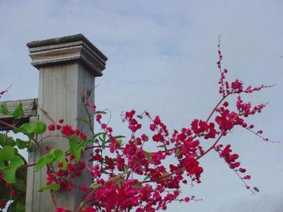hoa cây Ti gôn đong đưa đón nắng trên cao