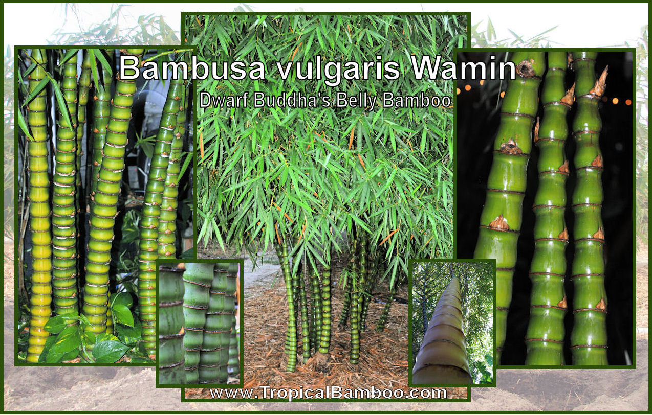 Calm Tropical Bamboo Bamboo Plant Source Buddha Belly Bamboo Leaves Turning Yellow Buddha Belly Bamboo S houzz 01 Buddha Belly Bamboo