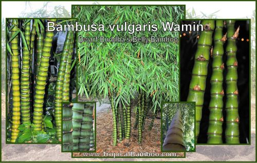 Medium Of Buddha Belly Bamboo