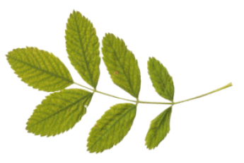 green_leaves_PNG3661