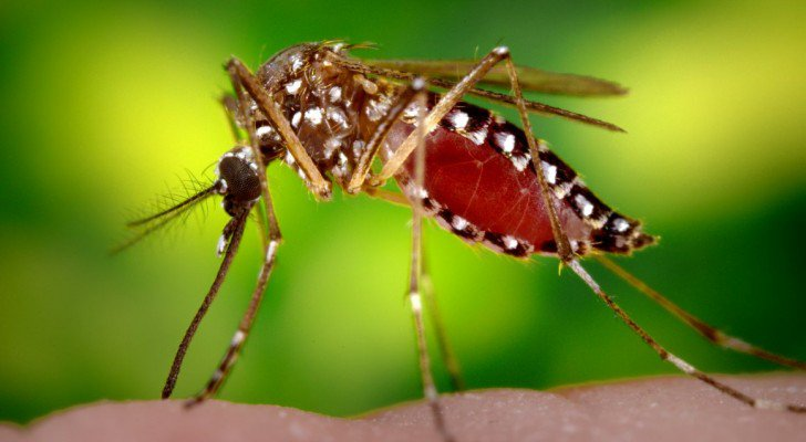 genetically_modified_mosquito