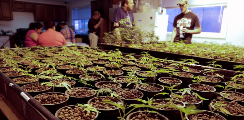 Cloned marijuana plants are pictured at the Sea of Green Farms growing facility in Seattle, Washington June 30, 2014. The state is poised on Monday to become the second after Colorado to allow retail sales of recreational marijuana to adults, under a heavily regulated and taxed system that voters approved in November 2012. Stores could begin operations as early as Tuesday, with up to 20 expected to open statewide. Picture taken June 30, 2014. REUTERS/Jason Redmond (UNITED STATES - Tags: BUSINESS DRUGS SOCIETY) - RTR3XC9T