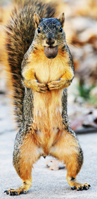 Squirrel pausing at the Park