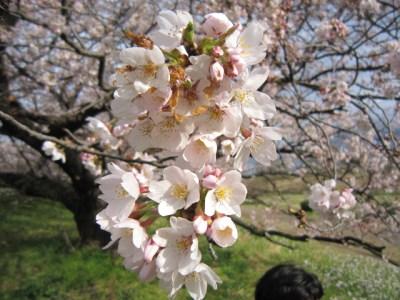 Shinya Bさん宅 & 多摩川堤でお花見パーティー