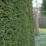 Coniferenhaag hoe wat waar en wanneer, snoeien, voeden en planten