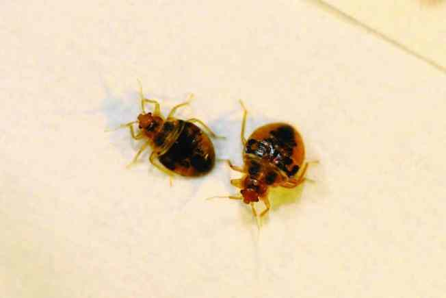 bed bugs Jacksonville