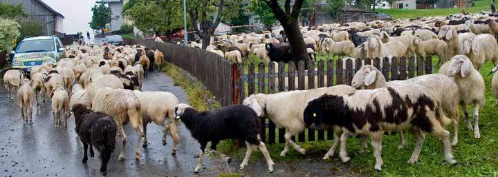 Tarrenz acoge cada año la Schaferfest (fiesta de las ovejas)