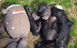 chimps_1