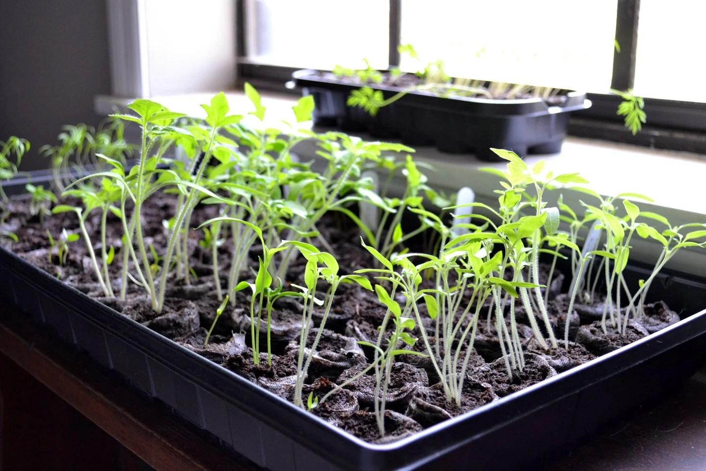 Fullsize Of Growing Potatoes Indoors