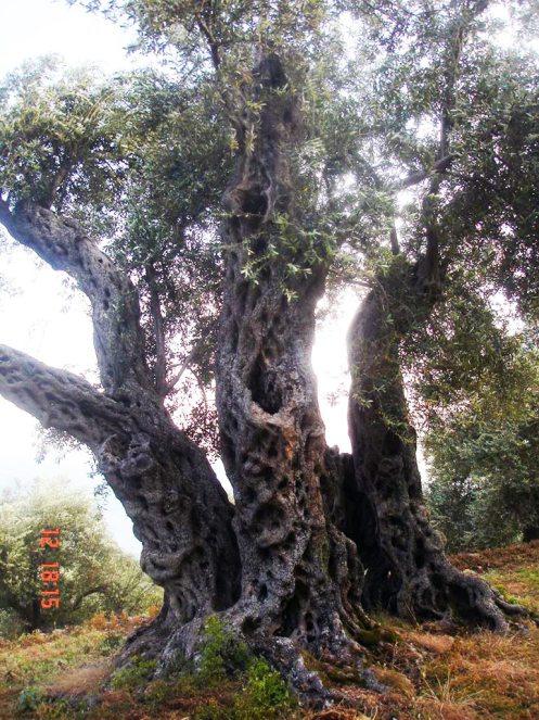 Buzuku family's 1314-year-old olive tree in Ulcinj, Montenegro.