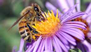 The Bees Are Dying, Thanks to High Fructose Corn Syrup