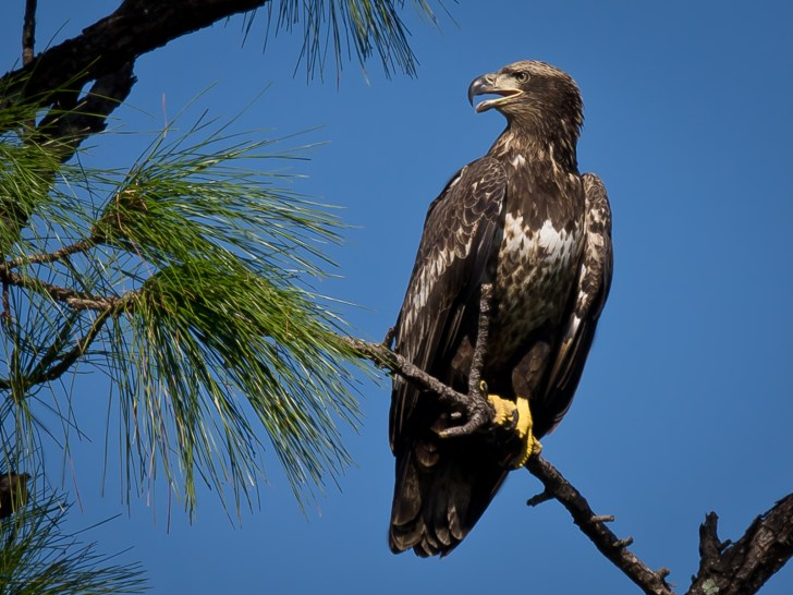 Immature Bald Eagle The bald eagle is the national emblem of the United States Song: Squeak, Squeak Habitat: Near lakes, reservoirs, rivers, marshes Identifying features: Large raptor-like bird with brown feathers, except for the white head and tail feathers, heavy yellow bill