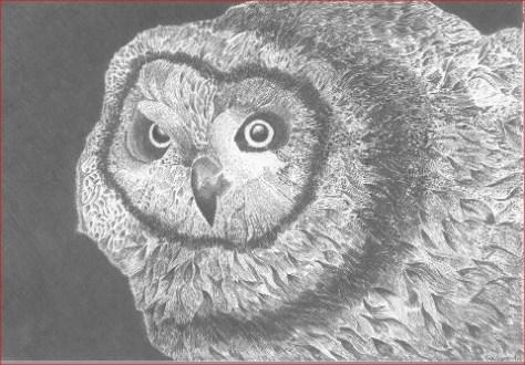 """Bleistiftzeichnung """"Sumpfohreule"""" 30 cm x 20 cm auf Zeichenkarton. Bild © Marco Weber"""