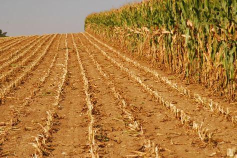 Hier nichts mehr – außer Mais